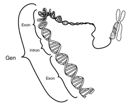 This stylistic schematic diagram shows a gene in relation to the double helix structure of  and to a  (right).  are regions often found in  genes which are removed in the  process: only the  encode the .  This diagram labels a region of only 40 or so bases as a gene.  In reality many genes are much larger.